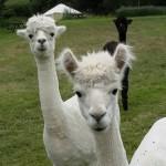 The Alpacas Berehayes Dorset